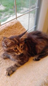 Maine Coon Cat picture from Florida Maine Coons by OptiCoons