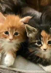 Maine Coon Kittens Florida - Orlando, Tampa, Miami, Jacksonville